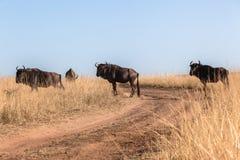För gnuväg för flock blåa djur för djurliv för grässlättar royaltyfri fotografi
