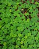 För grü n Kleeblatt Glà för växt av släktet Trifolium lyckas grön ¼ ck Arkivfoto