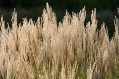 för gräs white long Arkivfoton