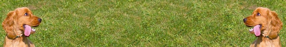 För gräsbakgrund för cockerspaniel bred skärm arkivfoto