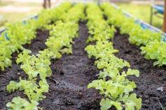 För gräsplanek för organiskt lantbruk grönsallat på jord i trädgård royaltyfri foto