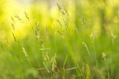 För gräsplanguling för abstrakt sommar blom- bakgrund för natur Royaltyfria Bilder