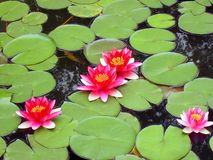 för grön rund näckros leafspygmy för blom fyra Royaltyfri Foto
