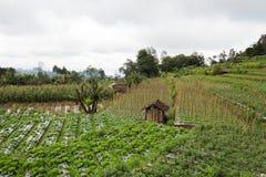 För grönsakfält för indones trädgårds- ris royaltyfri bild