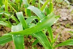 by för grönt blad för dagg naturlig ljus arkivbild