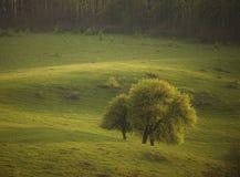 för gruppfjäder för fält gröna trees royaltyfri bild