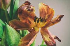 För grupptulpan för tappning stil bleknade blommor Royaltyfri Bild