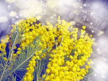För gul kort för marsch för bakgrund buskevår för mimosa blom- 8 Arkivbild