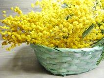 För gul kort för marsch för bakgrund buskevår för mimosa blom- 8 Arkivfoto