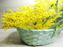 För gul kort för marsch för bakgrund buskevår för mimosa blom- 8 Royaltyfri Foto