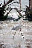 För hägerhav för stora blått vadande för fågel på golfen av Mexico Arkivfoton