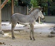 För hästdäggdjur för sebra häst- för Afrika herbivor savann royaltyfria foton