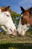 för hästpar för braunwald berömd schweizare för skidåkning för semesterort Arkivbild