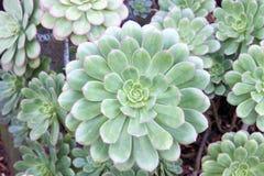 För höna och suckulent växtmakro för fågelungar Arkivfoto