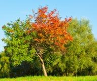 För höst (säsonger), röda och gröna sidor för sommar och Arkivfoto