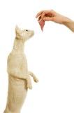 för han för katt cornish rex s man Arkivfoton