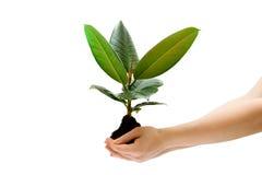 för handholding för kvinnlig grön växt arkivbild