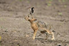 För hareLepus för europé brun europaeus fotografering för bildbyråer