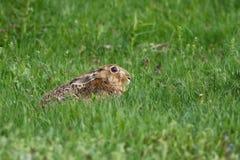 För hareLepus för europé brun europaeus i gräset royaltyfria foton