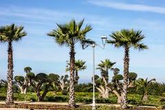 för hassan ii morocco för casablanca ingångsframdel fyrkant moské Palmträd gräsplan parkerar, det naturliga landskapet Arkivbilder