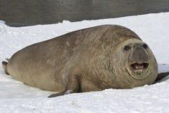 För havselefant för vuxen man som skyddsremsa vilar på kusterna av Antarcen Arkivfoton