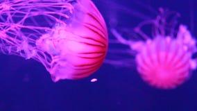 För havsnässlan för manet som vet det japanska badet simmar undervattens- vid liv uppehälle, också som: nordlig havsnässla, Still stock video