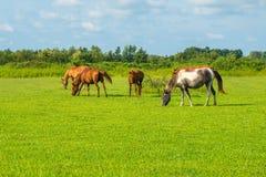 för hdrhästen för lantgårdar betar den gröna bilden Landsvårlandskap georgia Arkivfoto