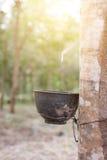 För Heveabrasiliensis för stam rubber träd, knackande lätt på latex från en gummiträd Arkivbilder