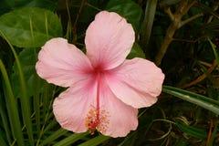 För hibiskus marshmallow för kines också rosa med den härliga blomningen royaltyfri foto