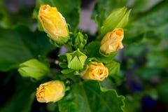 För hibiskusblomma för guling våt blommande fotografering för bildbyråer