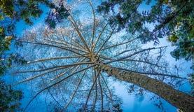 För himmelsikt för högväxt träd foto för bakgrund royaltyfri bild