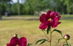 För humlor pollen mot efterkrav på en röd pion Röd pion med massor av bin royaltyfri fotografi