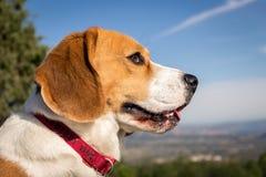 För hund†för stående älskvärd beagle för avel för ‹för †för ‹ arkivfoton