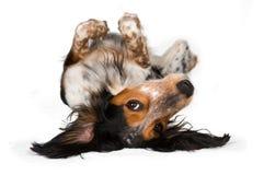 för hund översida ner Arkivfoto