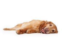 för hund guld- läggande retriever ner Arkivbilder
