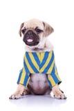 för hund som mopsvalp ut klibbar tungan Arkivbilder