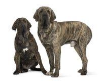 för hundfila för brasileiro brasiliansk mastiff Arkivbild