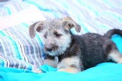 För hundhusdjur för djur som hemmastadd valp för byracka lägger på säng Arkivfoton