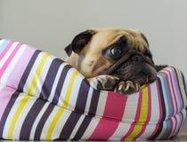 För hundmops för närbild som gullig valp vilar på hennes säng- och hålla ögonen påväntan något Royaltyfria Bilder