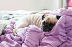 För hundmops för närbilden som öppnar den gulliga valpen vilar på hennes säng och, ögat Arkivbild