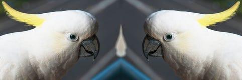 För huvudskott för två Sulphur krönad kakaduor närbild Fotografering för Bildbyråer