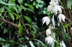 För Hyemale för Adam och helgdagsafton`-Aplectrum orkidé ` Fotografering för Bildbyråer