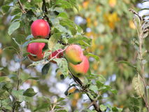 för illustrationtree för äpple härlig vektor Royaltyfria Bilder