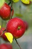 för illustrationtree för äpple härlig vektor Royaltyfri Bild