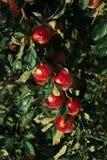 för illustrationtree för äpple härlig vektor Arkivfoton