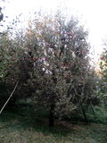 för illustrationtree för äpple härlig vektor Fotografering för Bildbyråer