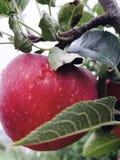 för illustrationtree för äpple härlig vektor arkivbilder