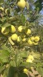 för illustrationtree för äpple härlig vektor Royaltyfri Foto