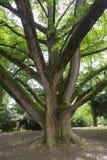 för illustrationupplösning för ginkgo 3d hög white för tree Royaltyfria Bilder