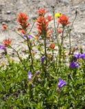 för indisk purpura röda vildblommar larkspurmålarfärg för borste arkivfoto